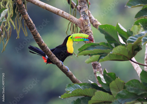 Foto op Plexiglas Toekan A PERFECT POSE FOR A PERFECT TOUCAN...Toucans are curious. They watch movement carefully even when high in the trees. Photographed in the wild in Costa Rica