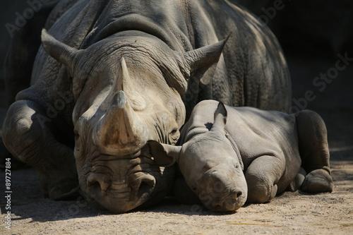 Poster Neushoorn Nashornmutter mit Baby