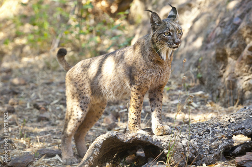 Spoed Foto op Canvas Lynx Iberian lynx on alert position