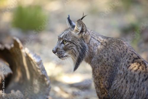 Foto auf Leinwand Luchs Iberian lynx sitting profile