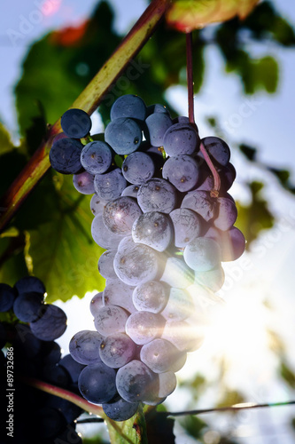 Wine grapes vineyard at sunset, autumn in France