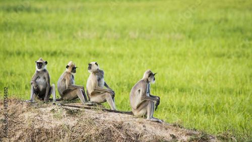 Fotografie, Obraz  Tufted gray langur in Arugam bay, Sri Lanka