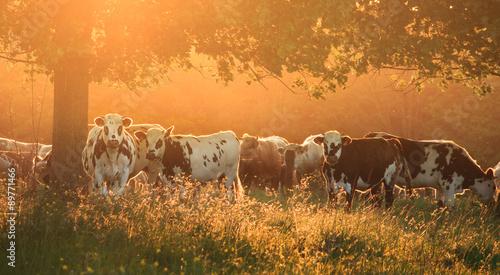 Poster de jardin Vache cow and sunlight