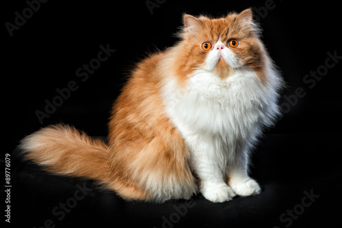 a4ca4d656387d7 Red big persian cat costs on dark background - Buy this stock photo ...