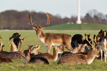 A Herd Of Deer In The Phoenix Park In Dublin, Ireland, One Of The Largest Walled City Parks In Europe Of A Size Of 1750 Acres