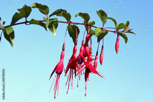 Obraz na płótnie Fuchsia rustique dans un jardin