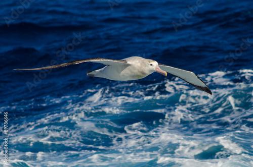 Fotografia, Obraz  Wandering Albatross in Flight