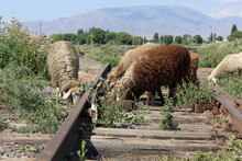 Sheeps Walking On Old Train Tr...