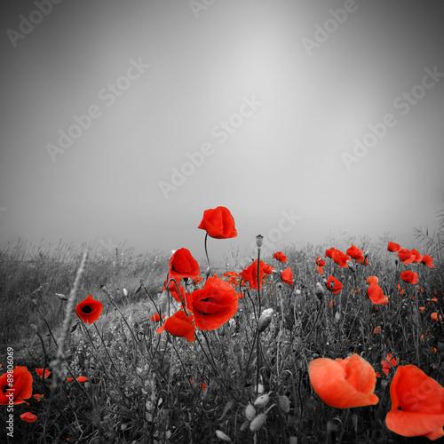 Fototapeta Feld mit roten Mohnblumen im Sommer obraz na płótnie