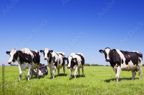 Photo Stands Cow Cows in a fresh grassy field on a clear day