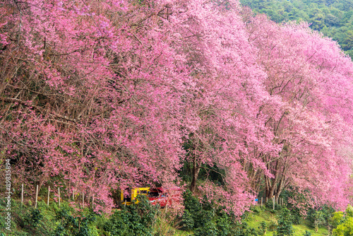 In de dag Candy roze cherry blossom in Thailand