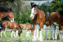 Clydesdales Horses