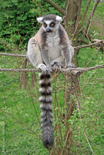 In de dag Hyena Ring-tailed lemur sitting on a rope in a Zoo