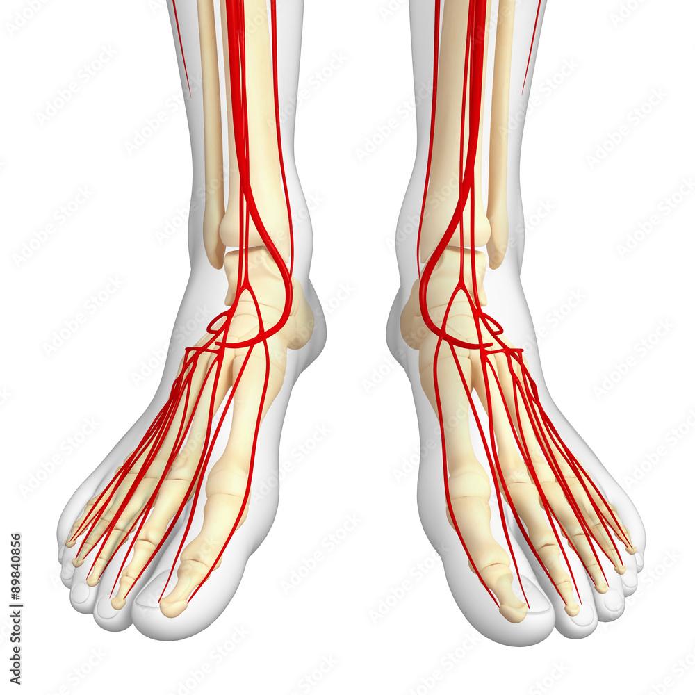 Human Arterial System Foto Poster Wandbilder Bei Europosters