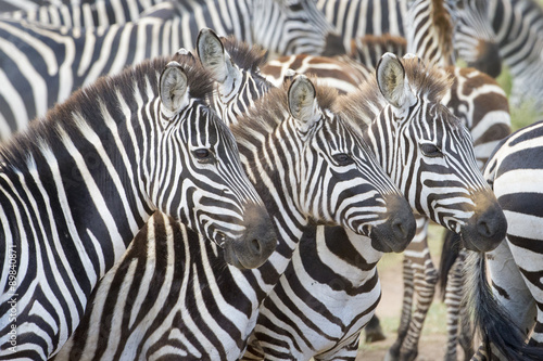 Foto op Plexiglas Zebra Portrait of three plains zebra (Equus burchellii) in herd, Serengeti national park, Tanzania.