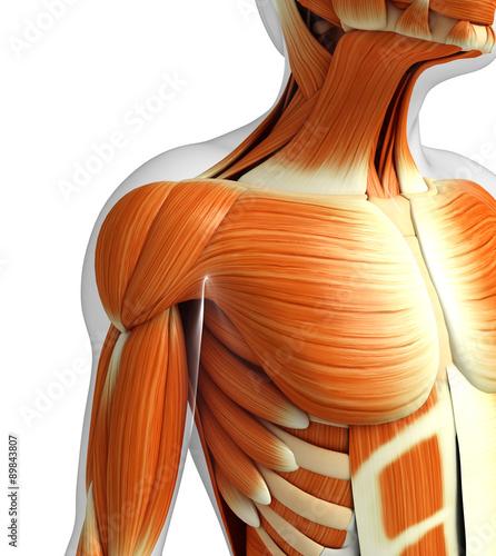 Fotografie, Tablou  3d rendered illustration of muscles anatomy