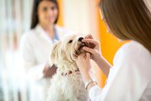 Checking Teeth Of Maltese Dog ...