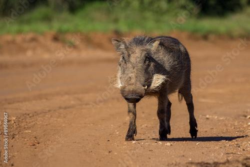 Photo  Warthog walking on raod