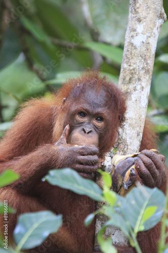 In de dag Aap Orangutan