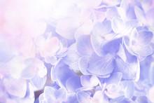 Sweet  Hydrangea Flowers Background