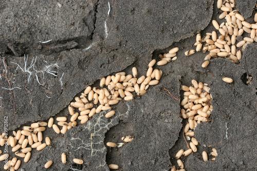 Fotografía  Муравьи спасают личинки