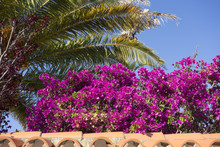 Bougainvillea And Palms On A Tile Roof