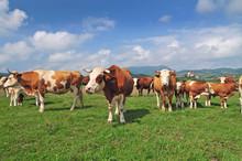 Cow Herd In A Field