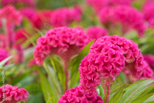 Fotografie, Obraz  pink cockscomb flower