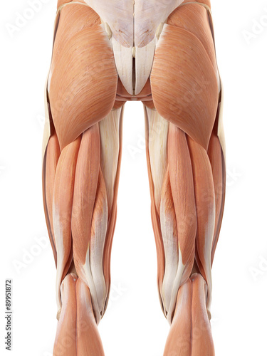 Leinwand Poster medically accurate illustration of the posterior leg muscles