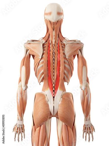 medycznie-dokladna-ilustracja-longissimus-thoracis