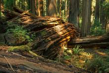 Old Fallen Giant Redwood Tree