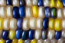 Flint Corn Color