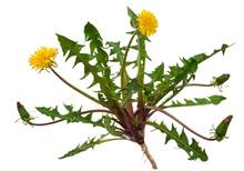 Medicinal Plant: Dandelion (Taraxacum Officinale)