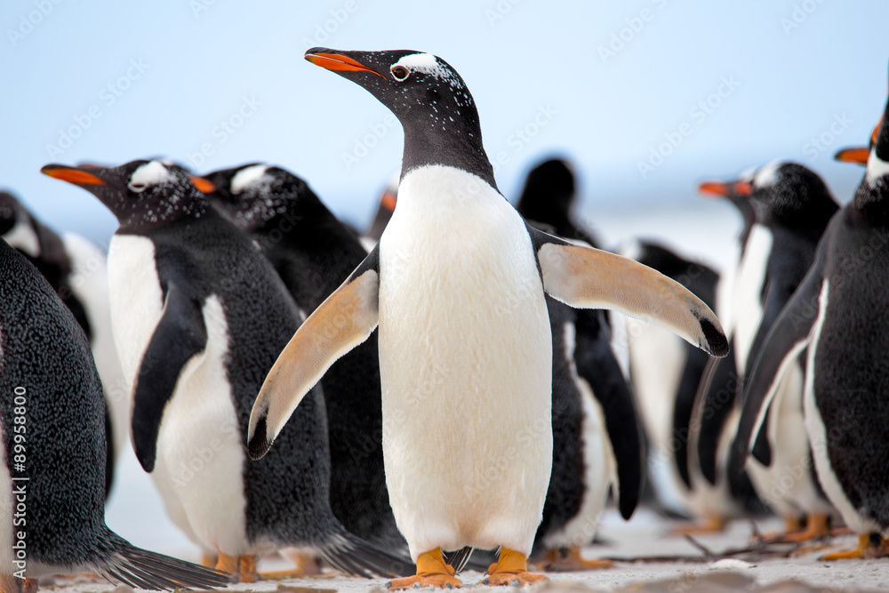 Gentoo Penguins (Pygoscelis papua) Falkland Islands.