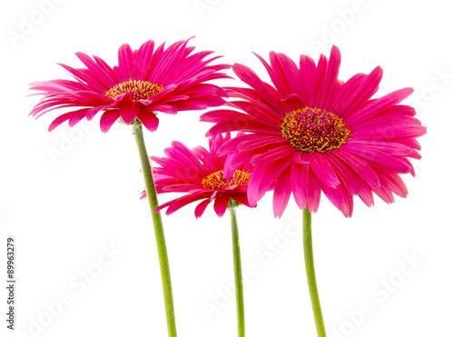 Foto op Plexiglas Gerbera Three Pink Gerbera flowers