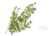 Fresh Green Thyme, Thymus Vulgaris, Isolated On White