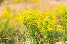 Beautiful Yellow Goldenrod Flo...