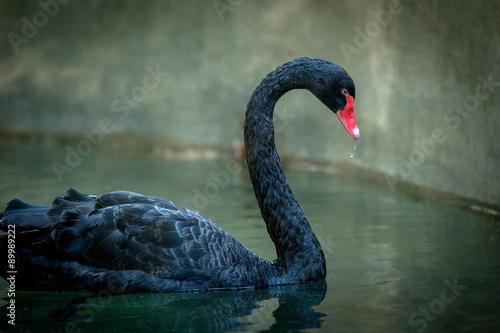 black swan on dark background