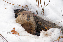 Groundhog Emerges From Snowy Den