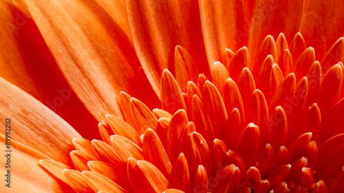 Poster Gerbera Orange Gerbera Flower CloseUp Detail Petals Background