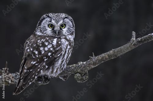 Keuken foto achterwand Uil Hunting Boreal Owl, Aegolius funereus