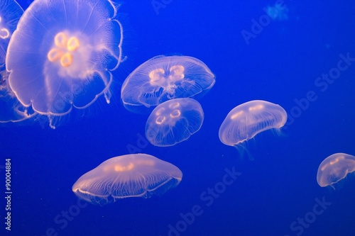 Jellyfish, following the Mothership Canvas Print