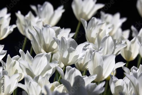 Fototapety, obrazy: White Tulips