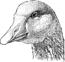 Head Of A Goose