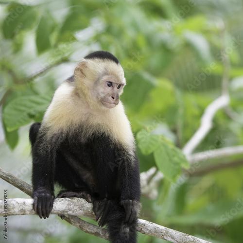 Fényképezés  Faune du Costa Rica, singe Cebus Capucinus, capucin à face blanche