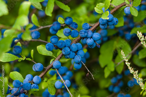 Valokuva  The fruits of blackthorn (Prunus spinosa)