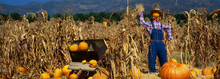 This Is A Pumpkin Patch At The Boccali's Ranch. There Is A Scarecrow In A Straw Hat And Overalls Next To A Wheelbarrow And Tall Corn Stalks. It Is Fall And They Are Getting Ready To Celebrate Halloween.