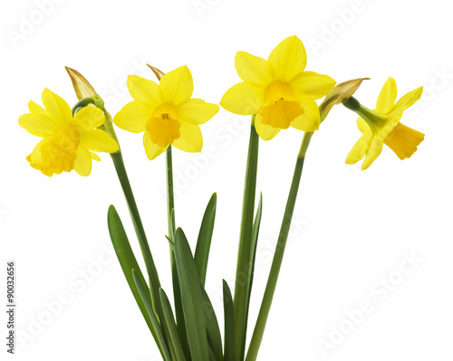 Wall Murals Narcissus Spring floral border, beautiful fresh narcissus flowers, isolated on white background