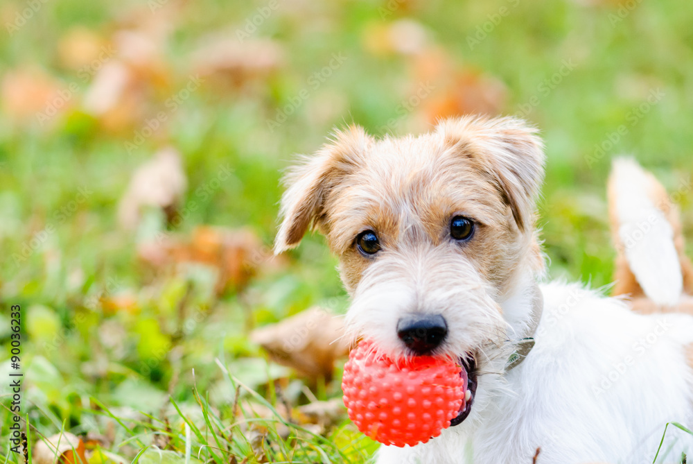 Fototapety, obrazy: Cute fluffy dog with ball