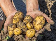 Potatoes Freshly Dug From The ...